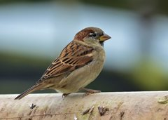 The Humble House Sparrow