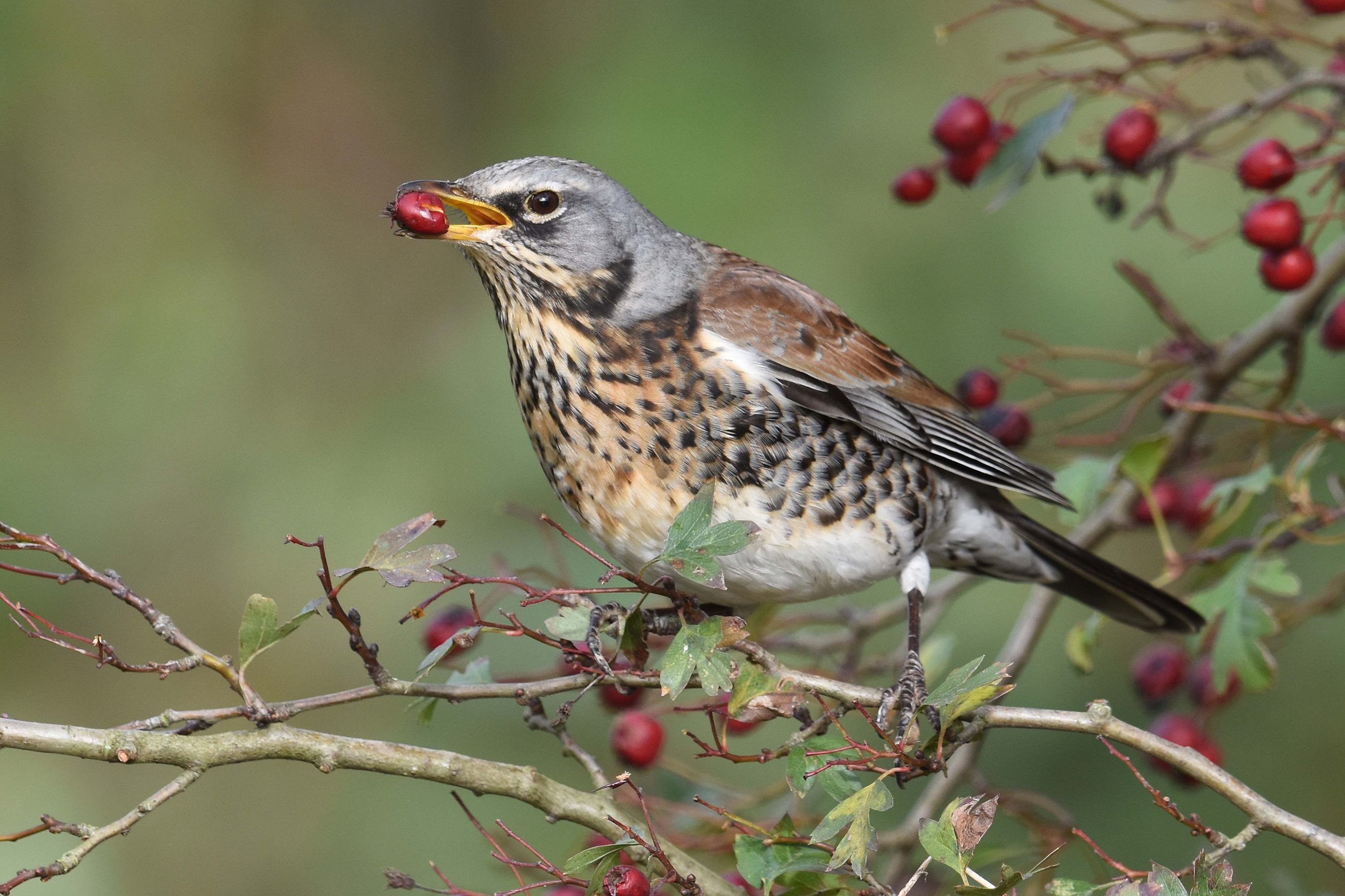 Fieldfare by Nick Appleton