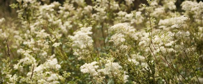 Meadowsweet by Paul Lane