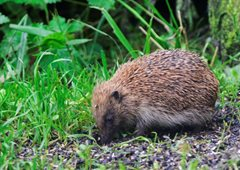 Wildlife in Common - hedgehog