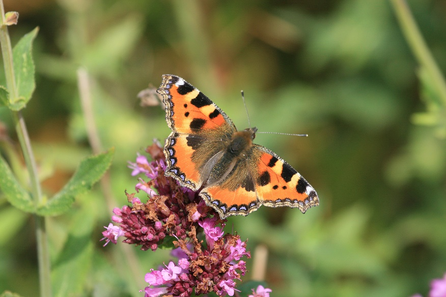 Butterflies for Beginners, NWT Cley Marshes NR25 7SA | Can you tell your Painted Lady from your Red Admiral? If not, then this workshop, led by county recorder Andy Brazil, is for you.  | Workshop, family, nature