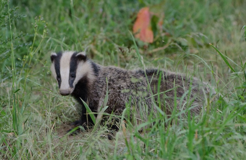 The Wildlife Trusts respond to Godfray review of bTB eradication strategy