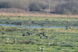 When and where can I see big flocks of wild geese in Norfolk?