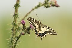 2020-06-09 Hickling Swallowtail Butterfly