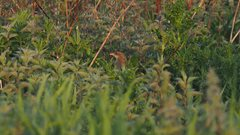 Corncrake at Thorpe Marshes