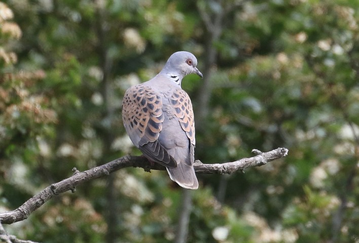 Wildlife in Common - Turtle Dove