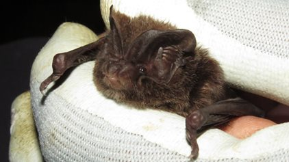 Western Link threatens probable largest barbastelle bat colony in UK