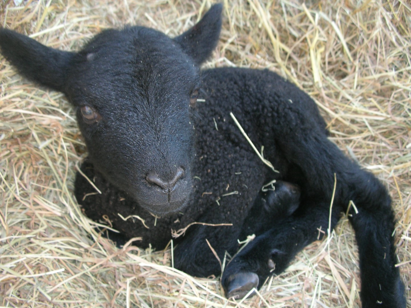 Lambing season at Norfolk Wildlife Trust