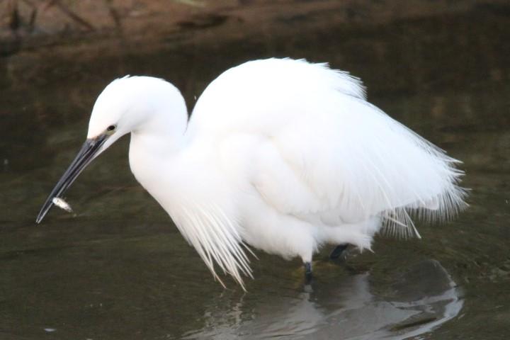 Little Egret Norfolk Wildlife Trust