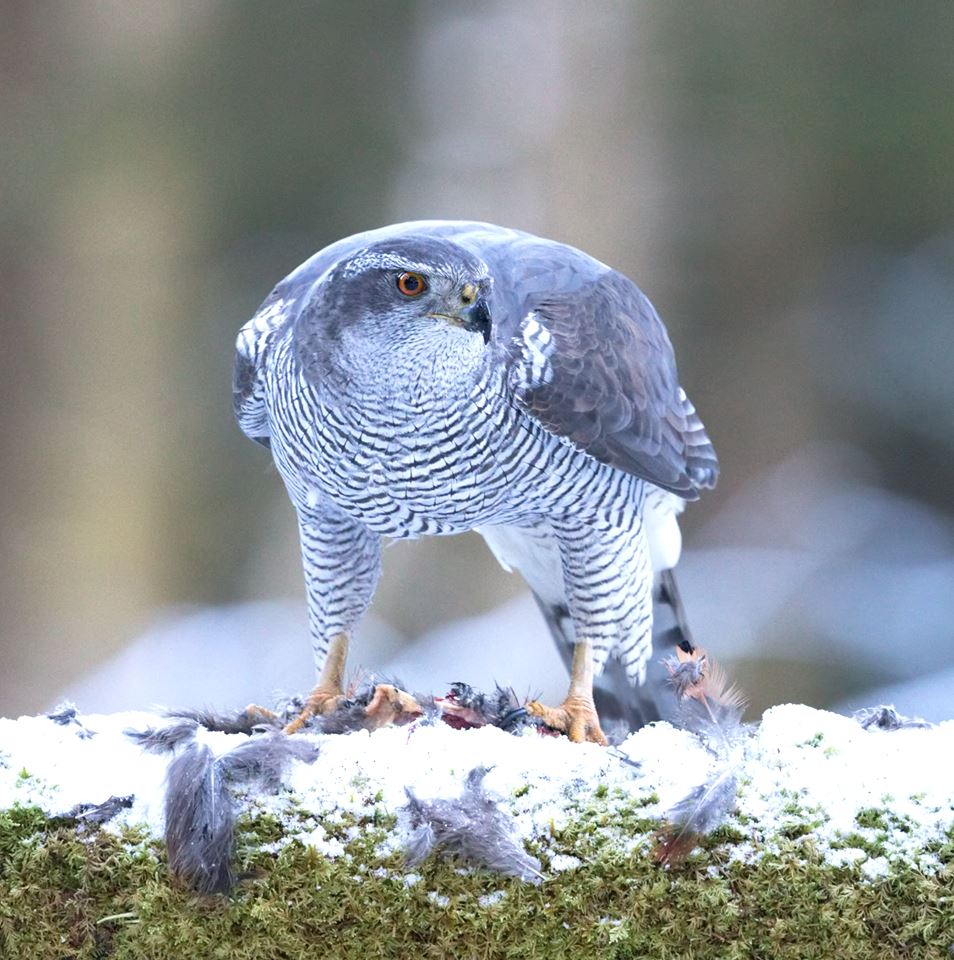 2019-03-28 Looking for the Goshawk