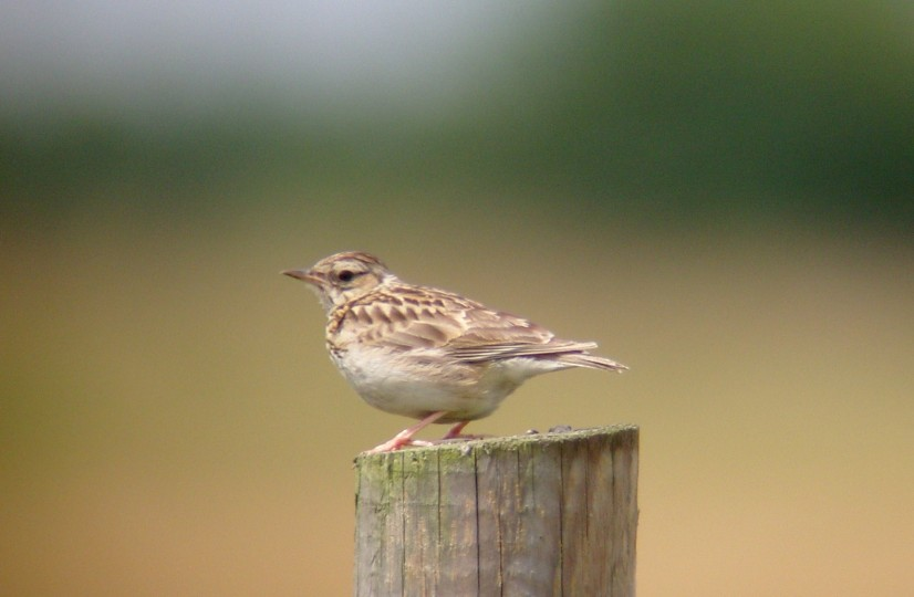 Woodlark, NWT Weeting Heath, Paul Waterhouse