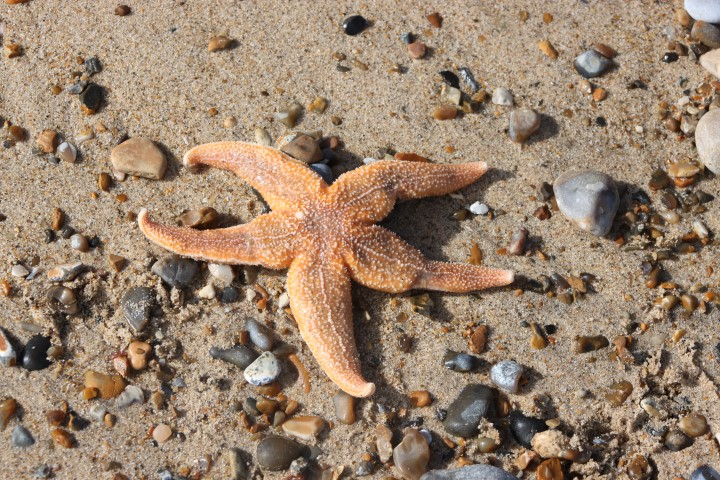 Common Starfish - Norfolk Wildlife Trust 358baf39764