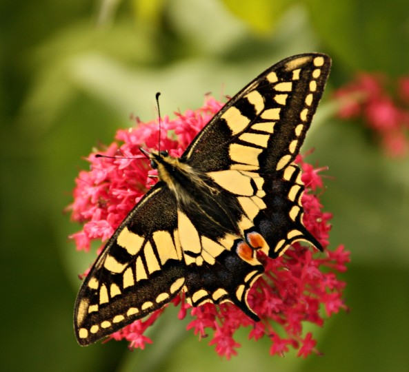 youtube copper with Swallowtail Butterfly on Organic Rooibos in addition Phormium Bronze Baby Phormium Tenax besides Weapons as well Watch as well Tabla Periodica De Elementos Quimicos Con Sus Valencias.