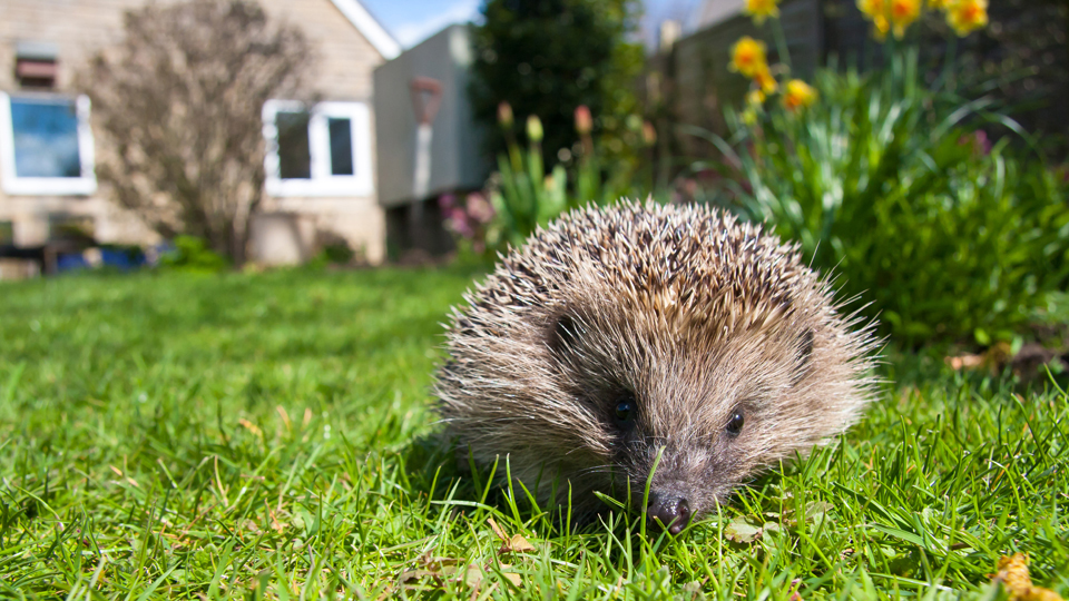 Hedgehog by Dave Kilbey