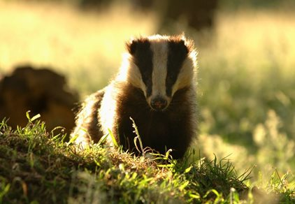 Protected Species Survey: Badgers