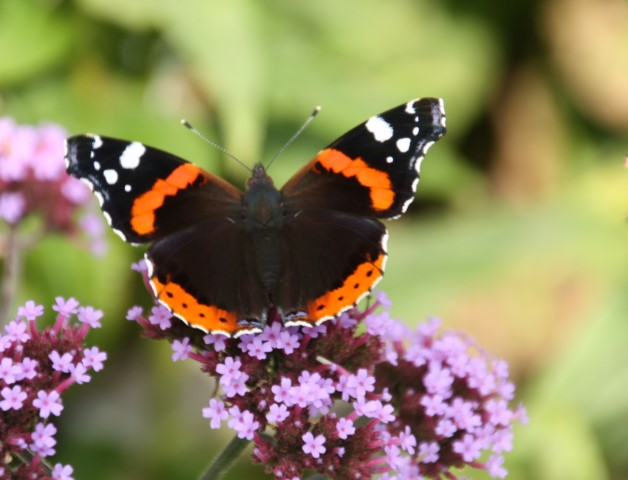 Red Admiral by Pat Adams