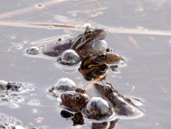 There has been ice on my pond and I have found dead frogs, what has happened?