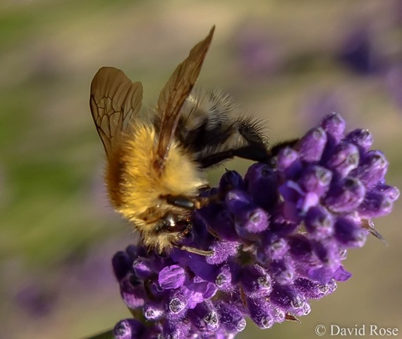 White-tailed bumble bee