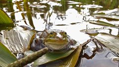 2019-09-24 UK's rarest amphibian given a