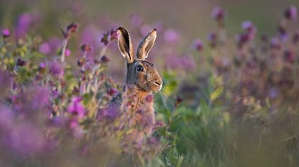 Hare by David Tipling