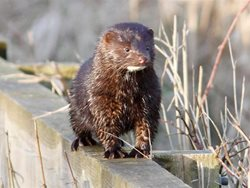How do I tell the difference between a mink and an otter?