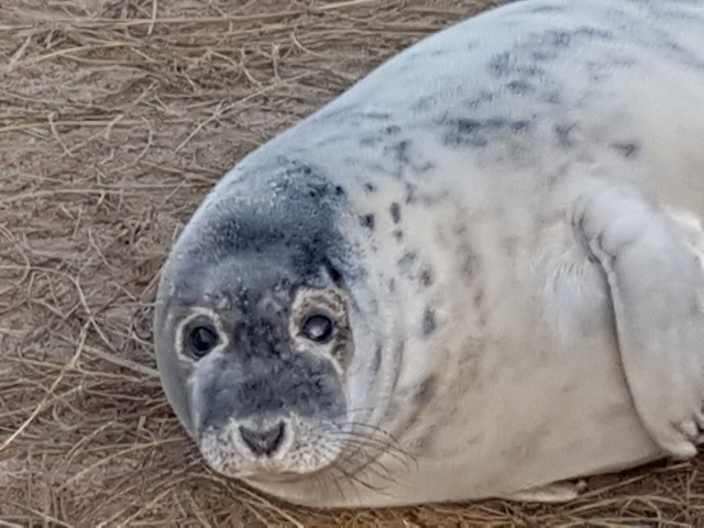 2019-01-09 Grey seals at Horsey