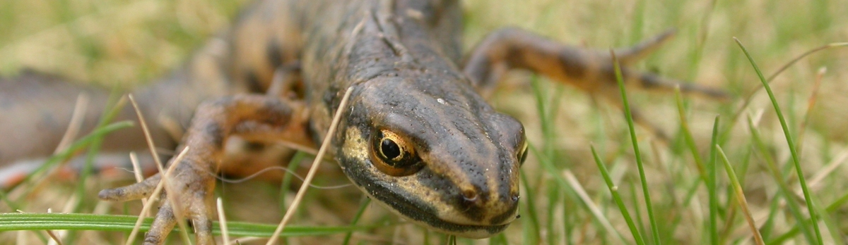 Smooth newt by Philip Precey
