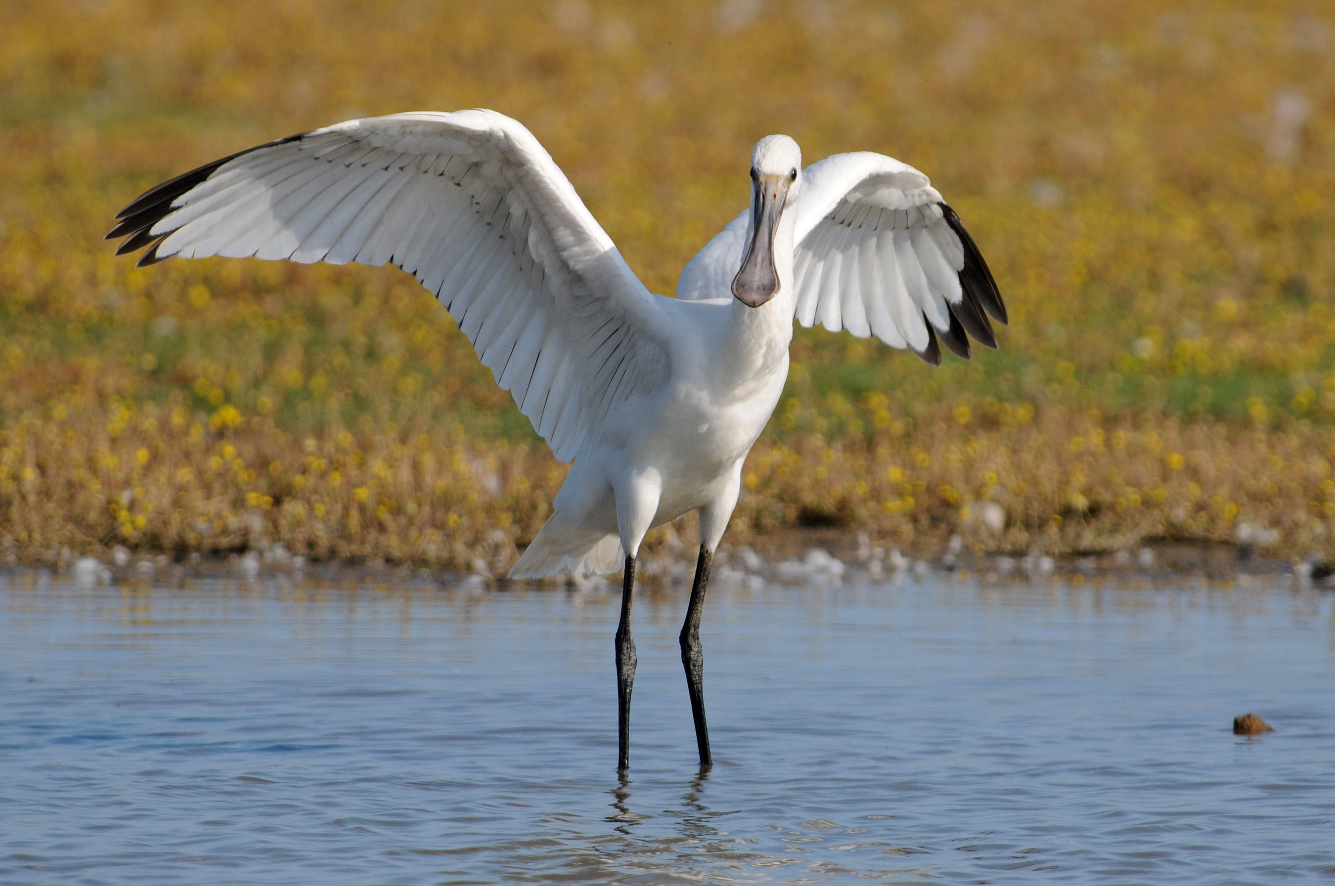 9 for 90: Spoonbill