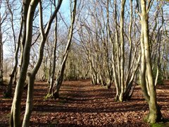 Hornbeam, Lower Wood, Ashwellthorpe,Tina Andrews