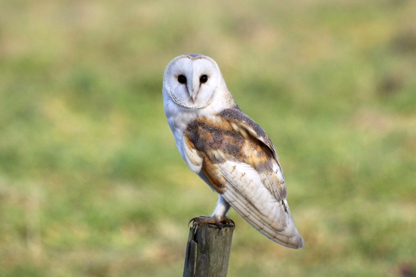 Barn Owl, Hardley, Nick Appleton