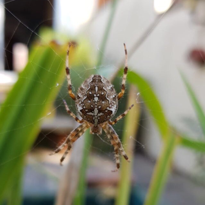 Garden orb spider, by Michelle Reeve