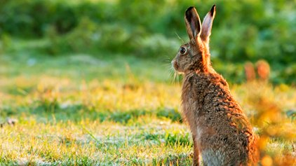Brown hare, photo by Mark Ollett