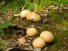 Common Earthball, NWT Hickling Broad, Adam Pimble