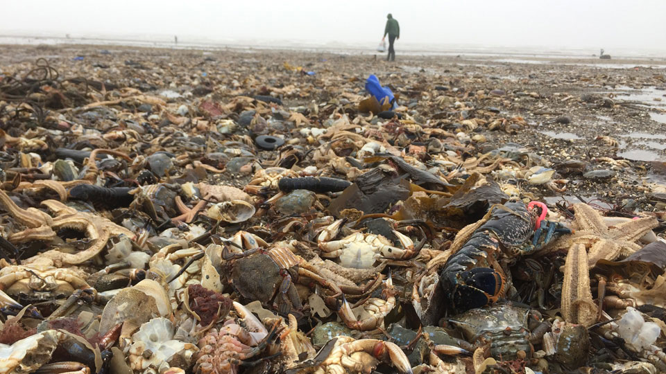 Mass marine death along North Sea coast