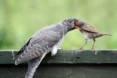 Cuckoo being fed by a dunnock but Tim Folkes