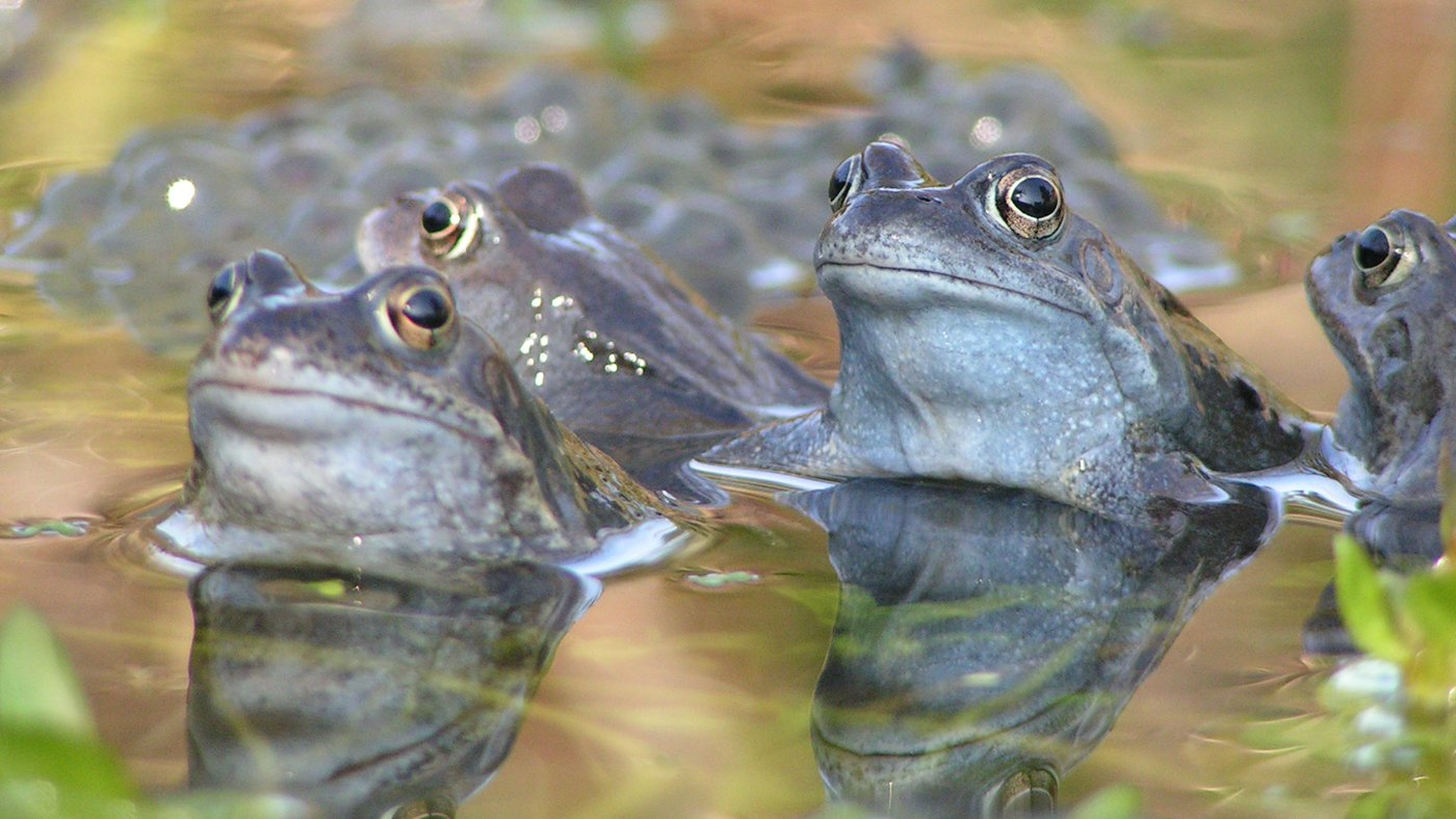 Wildlife in Common - Frogs and Toads