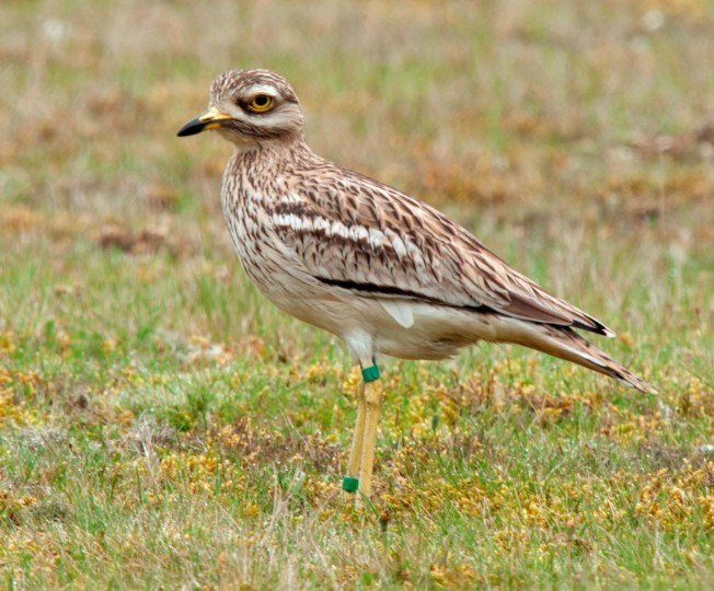 Stone Curlew, NWT Weeting Heatch, Lawrie Webb