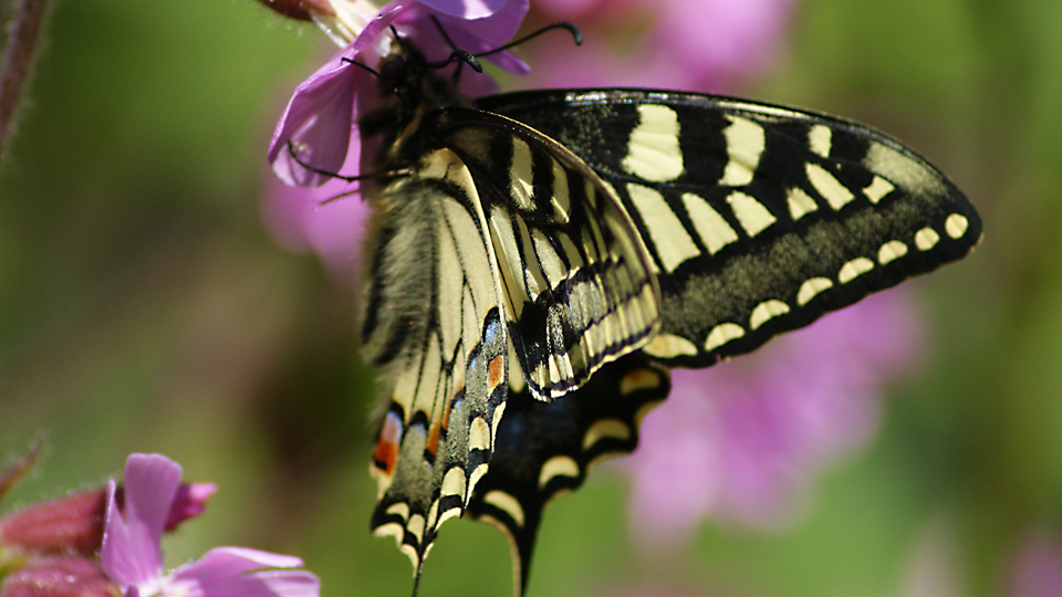Swallowtail by Jessica Riederer.
