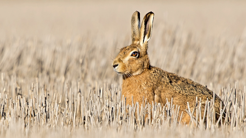 Wildlife Trusts join with University of East Anglia to identify cause of hare deaths