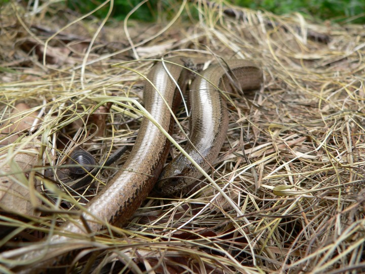 Slow worm, NWT Roydon Common, Karl Charters