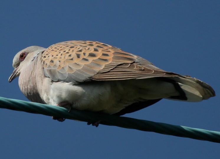 Turtle Dove Norfolk Wildlife Trust