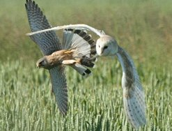Barn Owl vs kestrel photo by Brian McFarlane