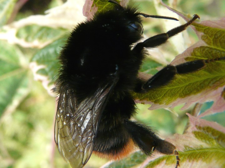 Black Bumble Bee >> Red Tailed Bumblebee Norfolk Wildlife Trust