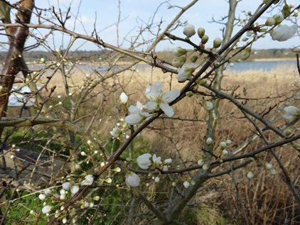 Signs of spring at Thorpe Marshes