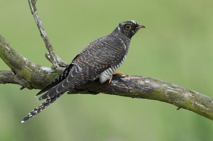 cuckoo norfolk wildlife trust