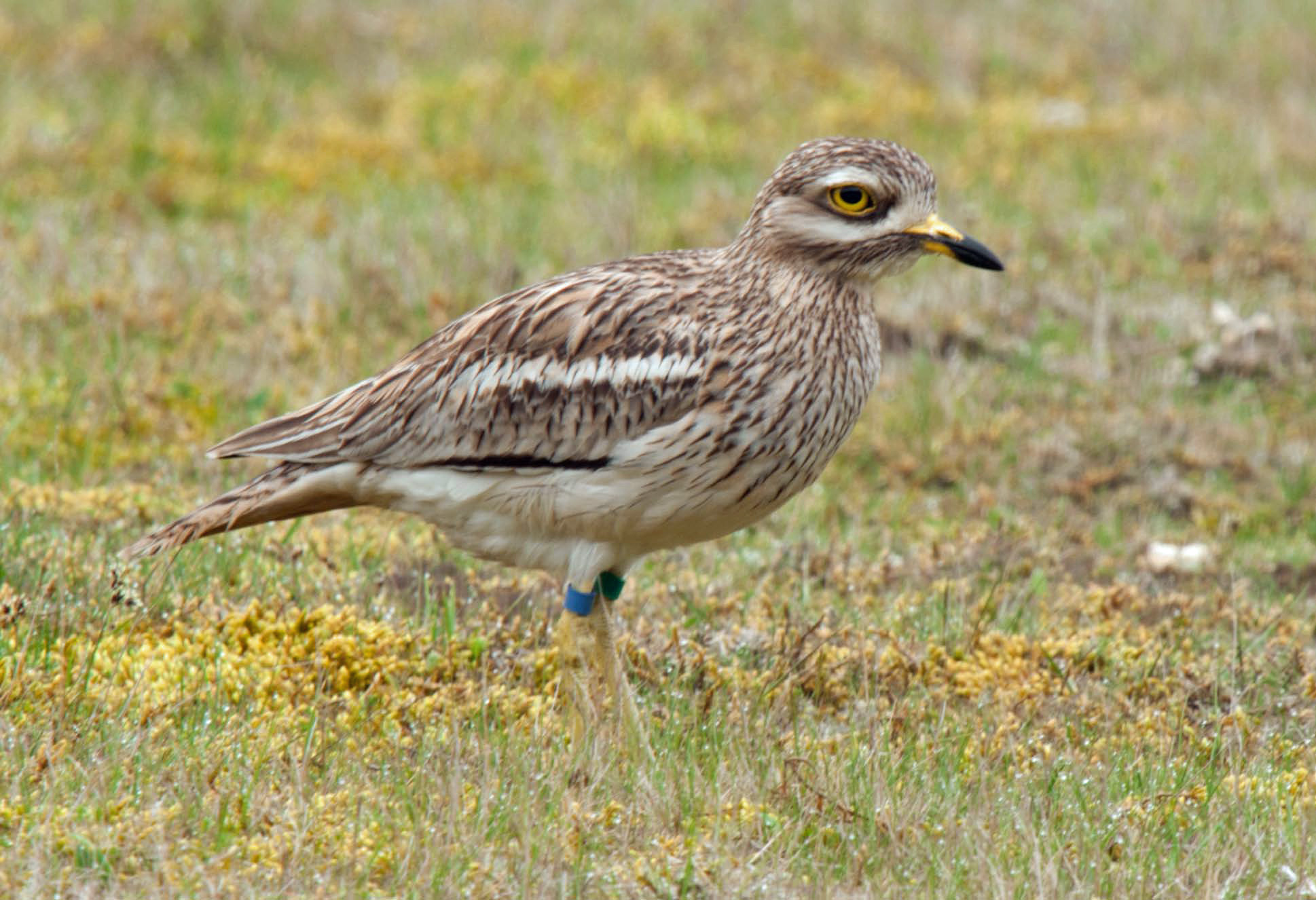 9 for 90: Stone curlew
