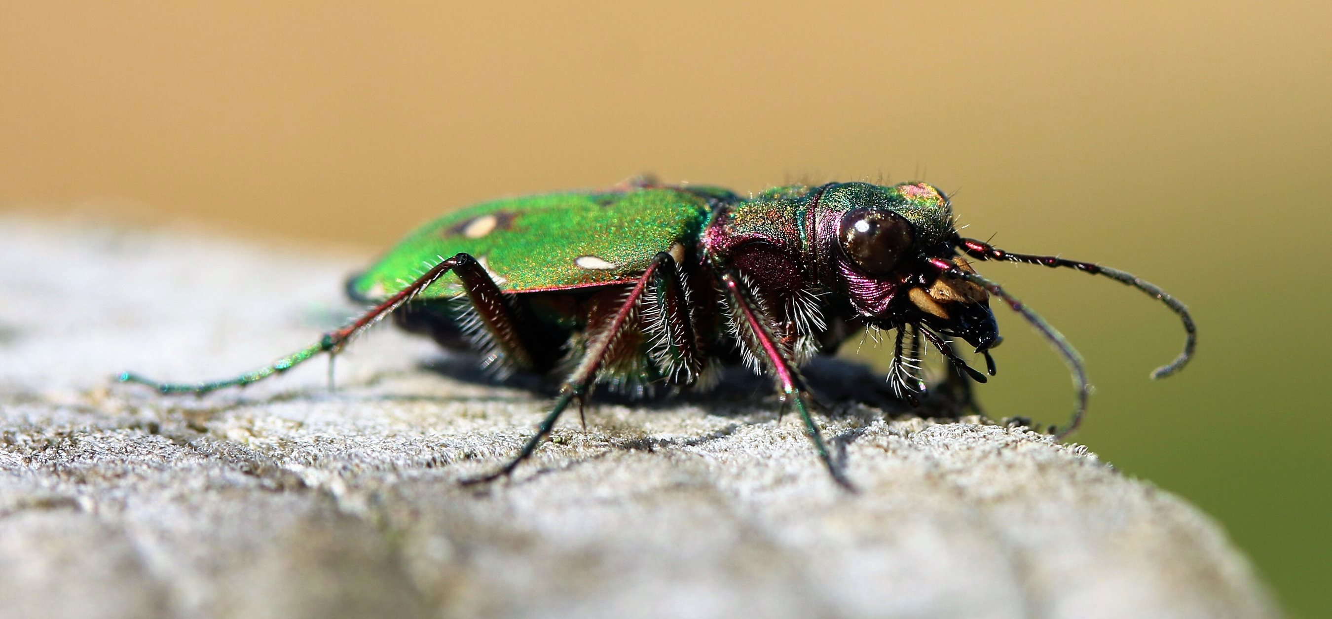 Wildlife in Common - green tiger beetle