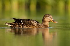 Identifying dabbling ducks