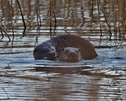 How to prevent otters predating fisheries and ponds