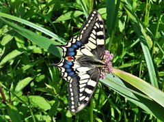 2020-06-20 World Swallowtail Day at Hickl